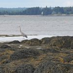 Photo: Blue Heron at the shore